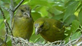 verdern comn carduelis chloris european greenfinch