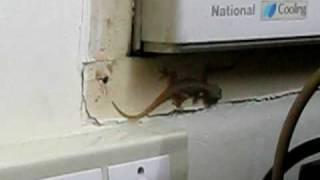 The extra-ordinary wall lizard from Kerala, India !