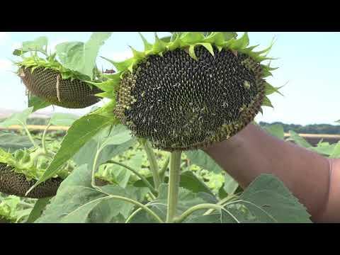 Ефективното хранене в слънчоглед от Тимак Агро  - Открит ден в  ИЗ - Карнобат