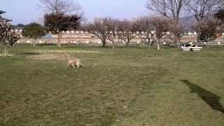 Ruby weimaraner 3.5 months old running at historical Heijyo Palace ...