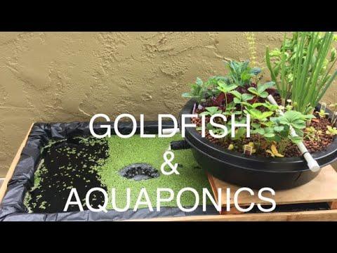 DIY Goldfish Pond & Aquaponics