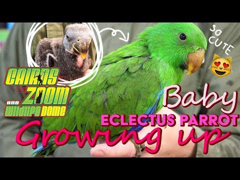 Eclectus Parrot | Meet Petrie! - Cairns Zoom & Wildlife Dome
