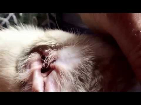 How to clean kittens ears mites