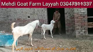 Small goat 1st meeting with big breeder | Bakri cross hony ki video