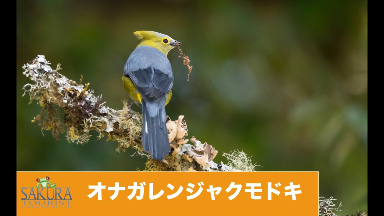 Download オナガレンジャクモドキ コスタリカ Long tailed Silky Flycatcher Costa Rica