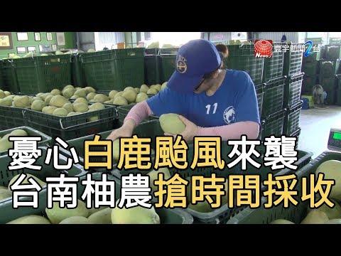 憂心白鹿颱風來襲 台南柚農搶時間採收|寰宇新聞20190823