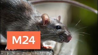 Крысы воруют пакеты с мусором на глазах у людей - Москва 24