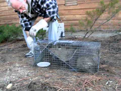 how to catch a skunk in a trap