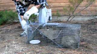 Javelina in the skunk trap