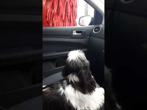 Shih Tzu's first Car wash