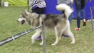 Сибирский хаски, интернациональная выставка собак в Великом Новгороде ранга CACIB