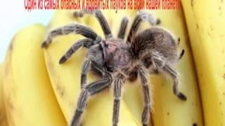бразильские банановые пауки