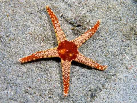Starfish | Wikipedia Audio Article