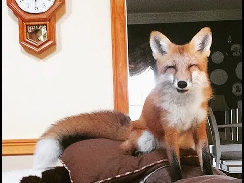 This Tiny Pet Fox Is Literally Always Smiling And It's The Cutest Thing Ever