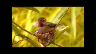 Hummingbird Don't Fly Away.wmv