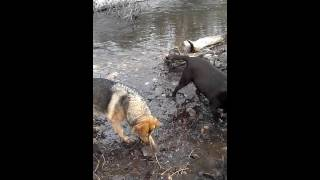 Labrador Retriever And German Shepherd Frolicking In A Wintery Creek