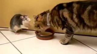 крыса отбирает миску у кота