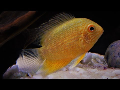 Severum Cichlid Fish Care & Tank Set-up Guide