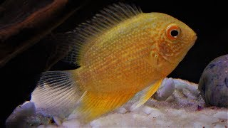Severum Cichlid Fish Care & Tank Set-up Guide