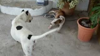 Bull Terrier Miniatura Costacabana Bull (lacoba Jackpot) Vs Pitbull (luna)