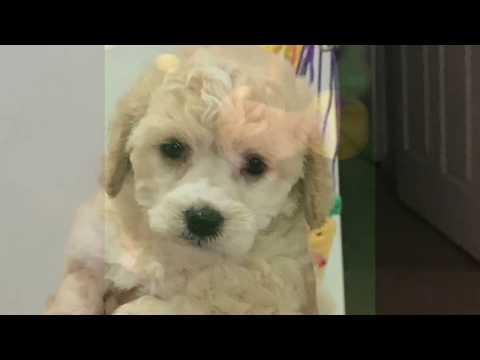 Our Puppy Milkshake - Cava-Poo-Chon (Poodle, Cavalier, and Bichon mix)