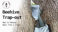 BEEHIVE TRAP-OUT: How to remove bees from a tree