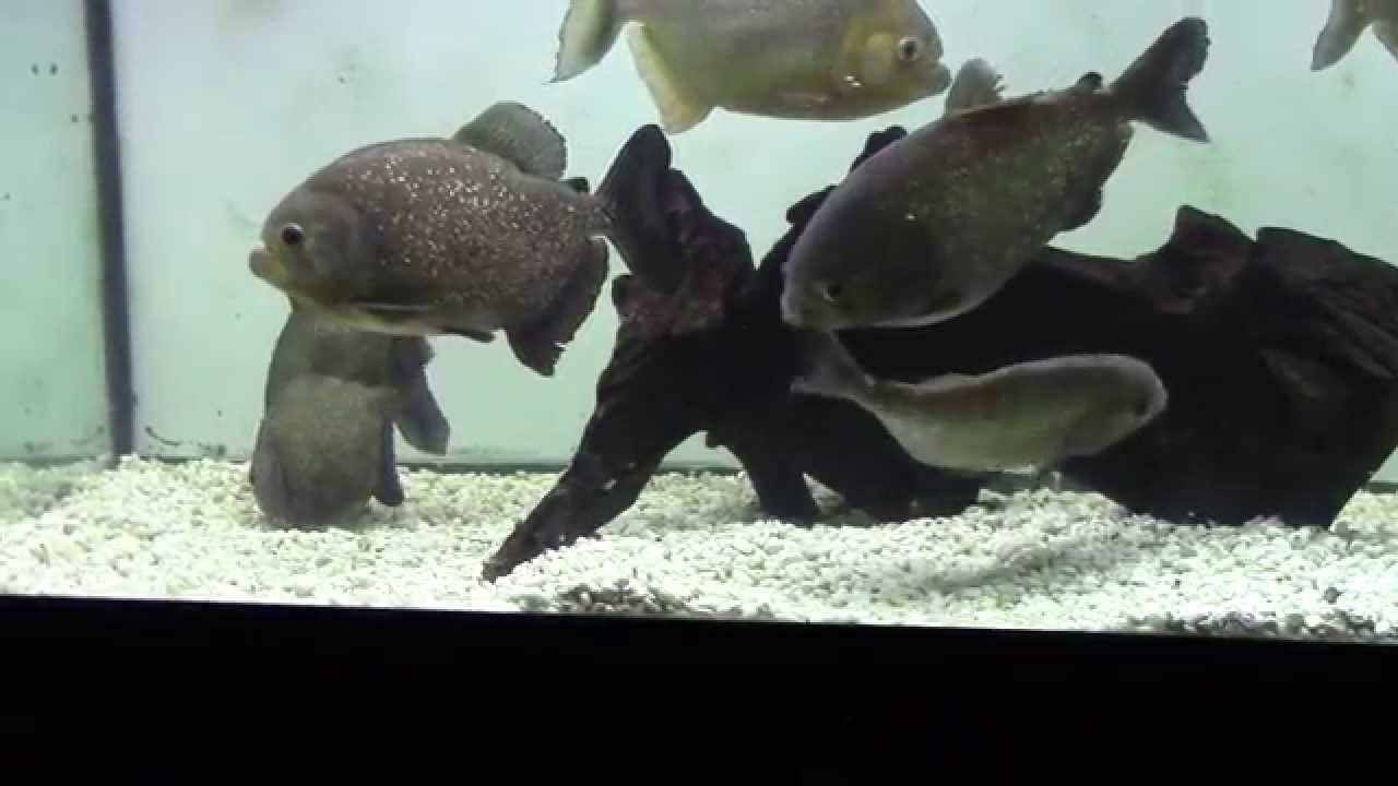 Red Belly Piranhas Breeding At AquaScapeOnline.com   YouTube