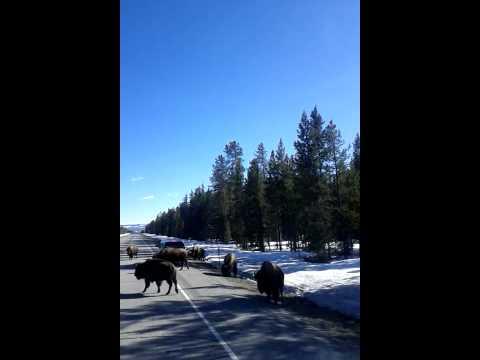 Buffalo walking on the  highway in Idaho