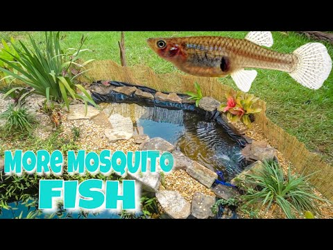 We Made A MOSQUITO FISH POND!