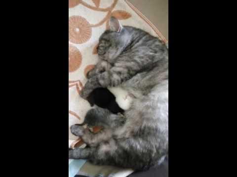 Британка Пуся и ее трехдневные котята