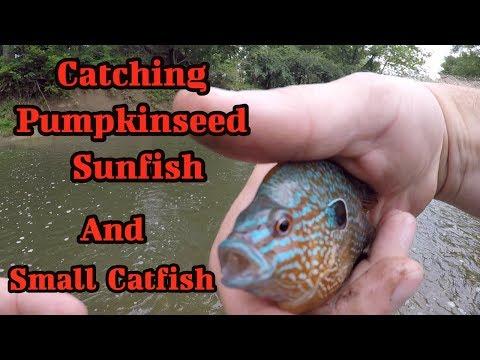 Catching Pumpkinseed Sunfish And Small Catfish