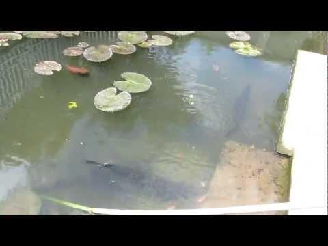 cá sấu hỏa tiễn nuôi dưới ao