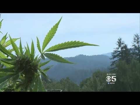 Northern California's Marijuana Industry Takes A Hit From Wildfires