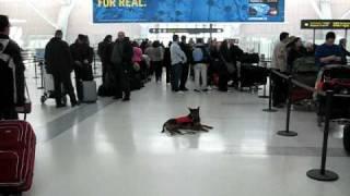 Www.shutetraining.com,  Obedience Training In Airport.