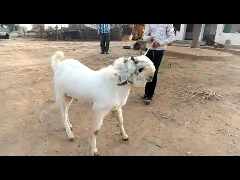 MOST AGGRESSIVE KOTA GOAT IN THE WORLD 2018 FOR SALE