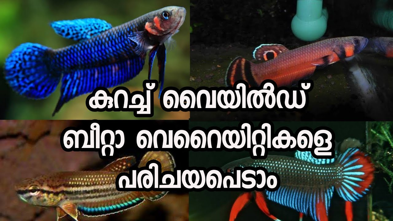 8 Type Wild Betta Fish Malayalam
