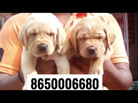 Patna dog Labrador for sale at 8650006680 in Patna Bihar , Jharkhand  Pet shop , Dog House Pet care