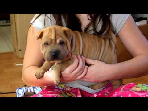 Mini/Toy AKC Chinese Shar Pei Red Fawn Female