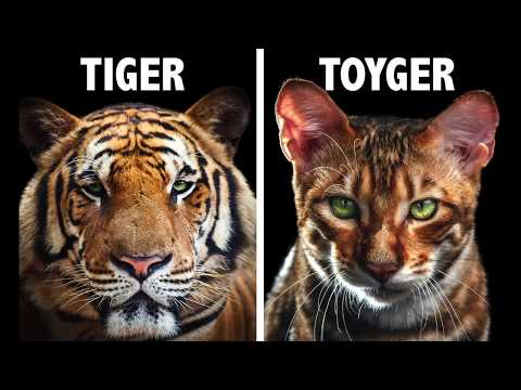 TOYGER - IS IT A HOME TIGER ???  Some facts about toyger cats. Brindleway Toyger cat home