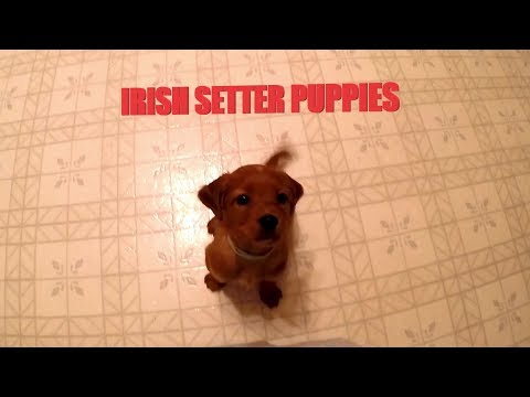 Playful Irish Setter Puppies!