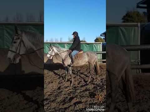 stunning grey mare