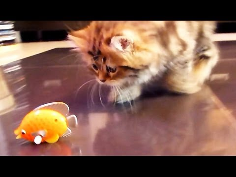 Funny cats playing with nice fish youtube for Fish videos for cats