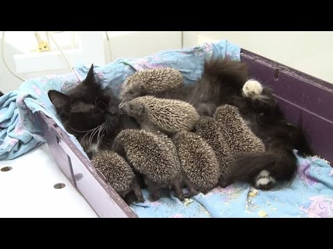 Kocia Mama Adoptowała 8 Osieroconych Jeżyków