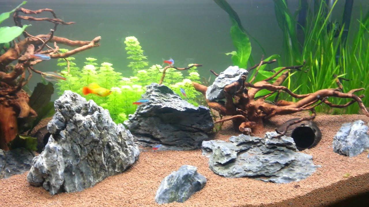 Betta corona en acuario comunitario 270 litros youtube for Acuario comunitario