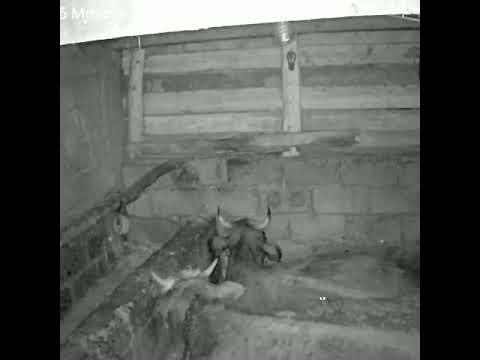 İneklerin üzerindeki yaramaz fareler