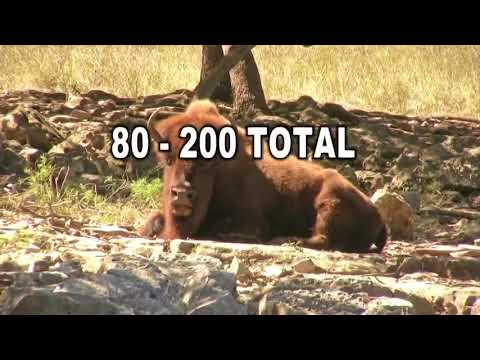 Thinning the bison herd at the Grand Canyon