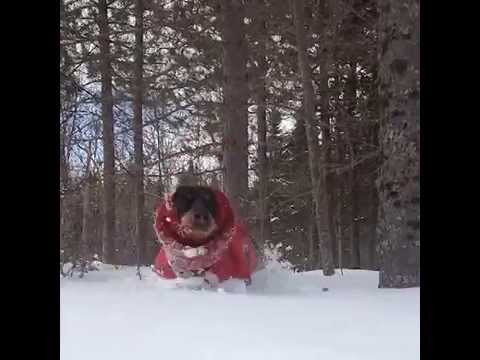 Dachshund is Happy in the Snow [Vine/Instagram video]