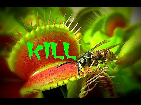 KILL / Venus flytrap - Venusfliegenfalle