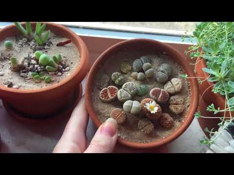 More Conophytum Blooming