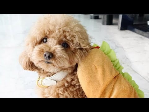 Toy Poodle - Funny Poodles - Poodle Puppy -  Cute Poodle – Poodle Video Compilation #1